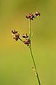 Juncus articulatus - läikviljaline luga Keilas.jpg