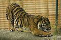 Just a big cat (Sumatran tiger) (7295075386).jpg