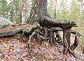 Jyväskylä - tree root.jpg