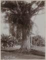 KITLV - 53178 - Lambert & Co., G.R. - Singapore - Botanical Garden at Singapore - circa 1895.tif