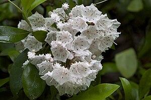 Kalmia - Kalmia latifolia