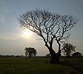 Kanchanaburi, Thailand, Acacia tree.jpg