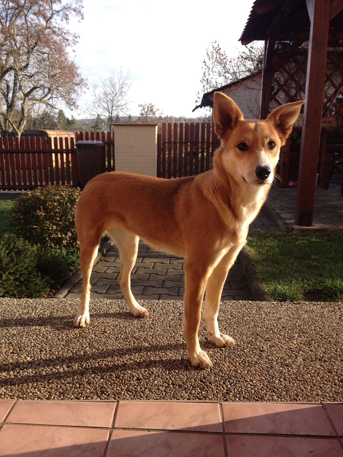 Karolínský pes – Wikipedie