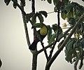 Keel-billed Toucan Ramphastos sulfuratus (41364568830).jpg