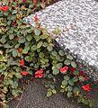 Kennedia prostrata Geelong BG email.jpg