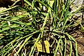 Kniphofia uvaria in Jardin des plantes de Montpellier.jpg