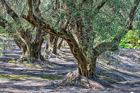 Olive grove near Agii Douli, Corfu, Greece