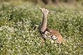 Kori bustard, Ardeotis kori, at Mapungubwe National Park, Limpopo, South Africa (17510355544).jpg