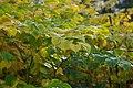 Korina 2013-10-19 Fallopia japonica 3.jpg