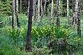Kosaćce żółte ( irys lutea) - panoramio.jpg