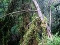 Kouvaras forest 2.jpg