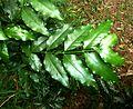 Kraussia floribunda, loof, Krantzkloof NR.jpg