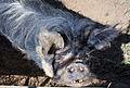 Kunekune pig portrait.jpg