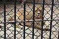 Kunming City Zoo Lion (9964673215).jpg
