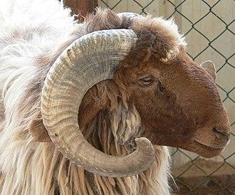 Awassi - Image: Kuwaiti sheep