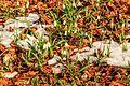 Kvetoucí sněženky v PP Sněženky ve Vysokém lese 47.jpg