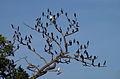 L'arbre aux cormorans - Sri Lanka.jpg