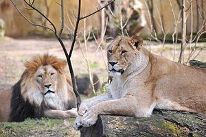 Rostock Zoo - Lions in Rostock Zoo