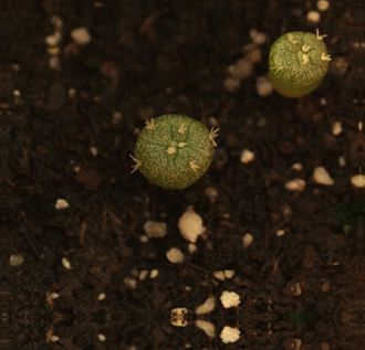 Peyote - Lophophora williamsii seedling at roughly 1 1/2 months of age