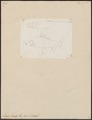 Labeo morala - 1807-1822 - Print - Iconographia Zoologica - Special Collections University of Amsterdam - UBA01 IZ15000082.tif