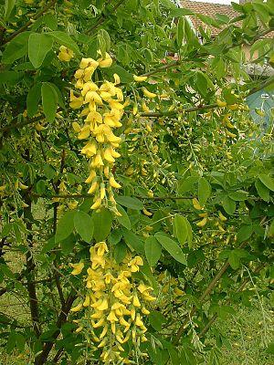 Laburnum anagyroides - Image: Laburnum anagyroides