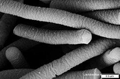 Lactobacillus Acidophilus Wikipedia