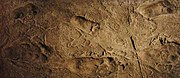 180px laetoli footprints replica