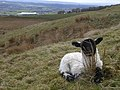 Lamb Hiding in the Grass - geograph.org.uk - 162097.jpg