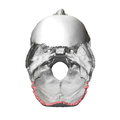 Lambdoid border of occipital bone02.png