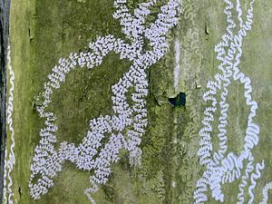 Radula - Tracks made by terrestrial gastropods with their radulas, scraping green algae from a surface inside a greenhouse