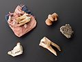 Large animal tooth in pink and blue silk bag to cure toothac Wellcome L0057581.jpg