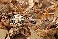 Larinioides.patagiatus2.-.lindsey.jpg