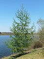 Larix × marschlinsii Mialet (2).JPG