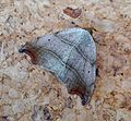 Laspeyria flexula (14836298402).jpg