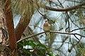 Laughing dove (17759167443).jpg