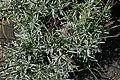 Lavandula angustifolia Grosso 2zz.jpg