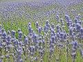 Lavender - geograph.org.uk - 468938.jpg