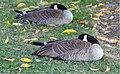 Lazy Goose (236771151).jpeg