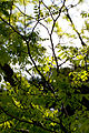 Leaves, Yellow-wood - Flickr - nekonomania.jpg