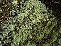 Lecanora anakeestiicola 453817.jpg