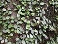 Lemmaphyllum Microphyllum.jpg