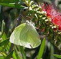 Lemon Migrant. Catopsilia pomona. Male - Flickr - gailhampshire.jpg