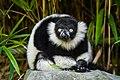 Lemur (36678646972).jpg