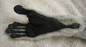 Close-up of a ring-tailed lemur's foot, showing black skin and a lack of fur on the heel