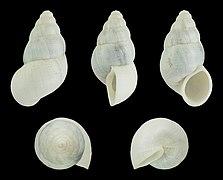 Leonia mammillaris 01.JPG