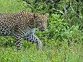 Leopard (Panthera pardus) (12907353194).jpg