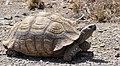 Leopard Tortoise (Stigmochelys pardalis) (46182867442).jpg