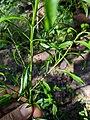 Lepidium virginicum leaves.jpg