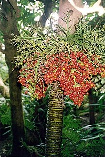 Lord Howe Island-Communities and special plants-Lepidorrhachis mooreana LHI fruiting