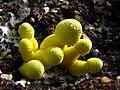Leucocoprinus birnbaumii 56044.jpg